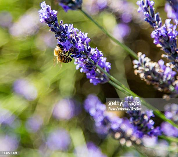 close-up of honey bee on purple flower - honey ross stock pictures, royalty-free photos & images