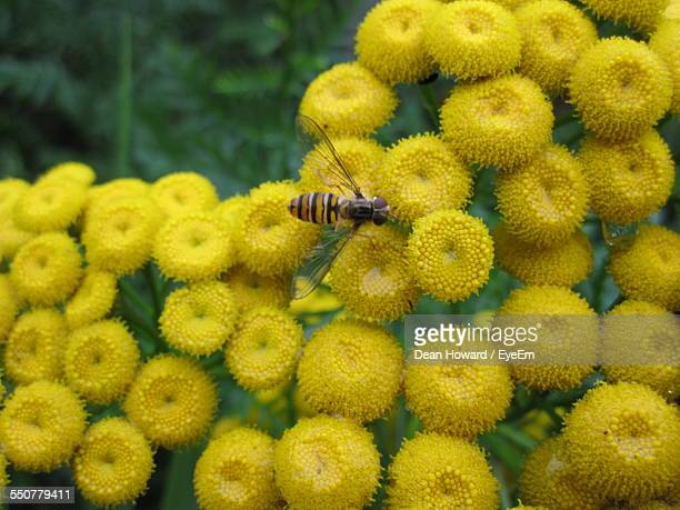 close-up of honey bee on tansy flowers - tansy stock pictures, royalty-free photos & images