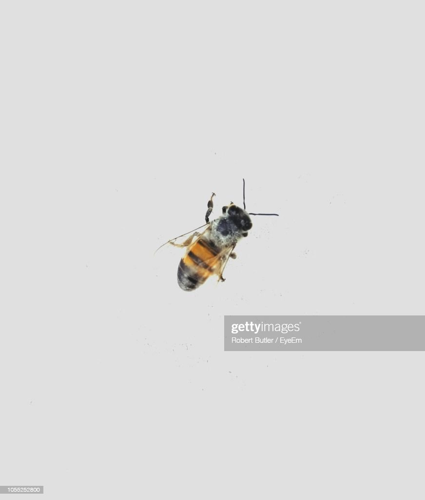 Close-Up Of Honey Bee On White Background : Stock Photo