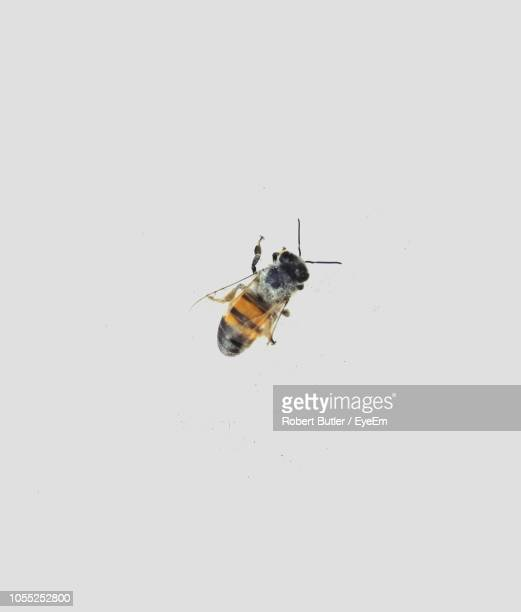 close-up of honey bee on white background - abeille photos et images de collection