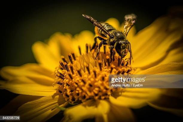 Close-Up Of Honey Bee On Yellow Flower