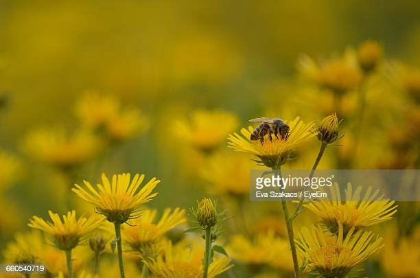 Close-Up Of Honey Bee On Yellow Flowers