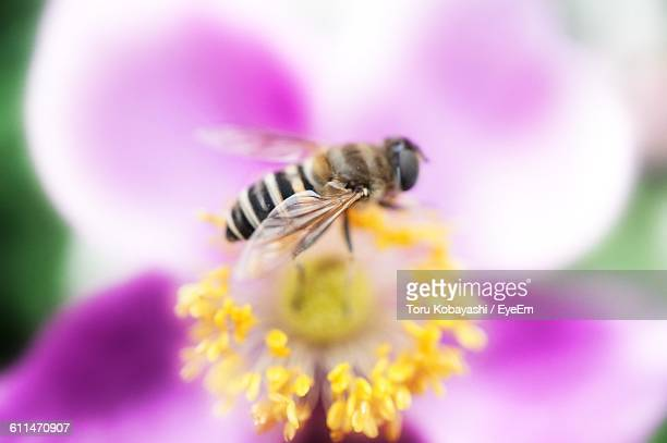 Close-Up Of Honey Bee On Yellow Pollen