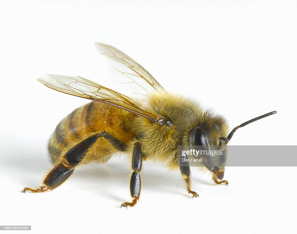 Image result for bee picture