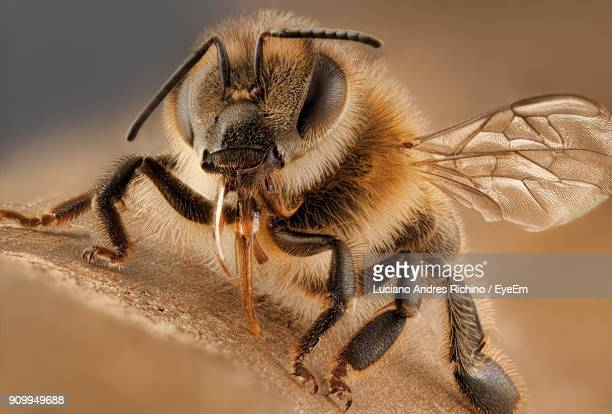 Close-Up Of Honey Bee