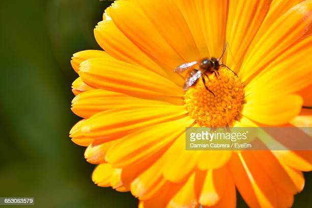 Close-Up Of Honey Bee Pollinating Flower