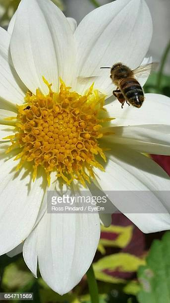 close-up of honey bee pollinating flower - honey ross stock pictures, royalty-free photos & images