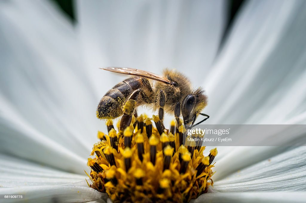 Close-Up Of Honey Bee Pollinating Flower : Stock Photo