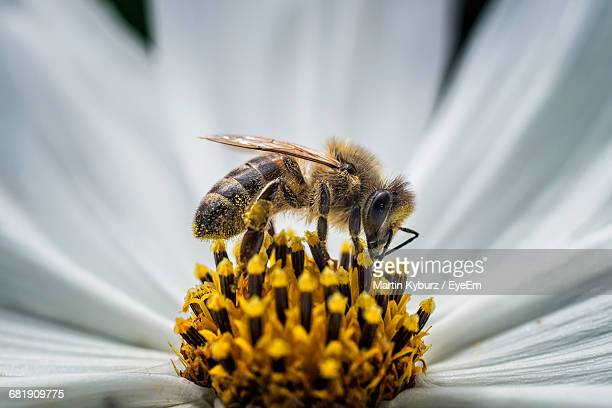close-up of honey bee pollinating flower - biene stock-fotos und bilder