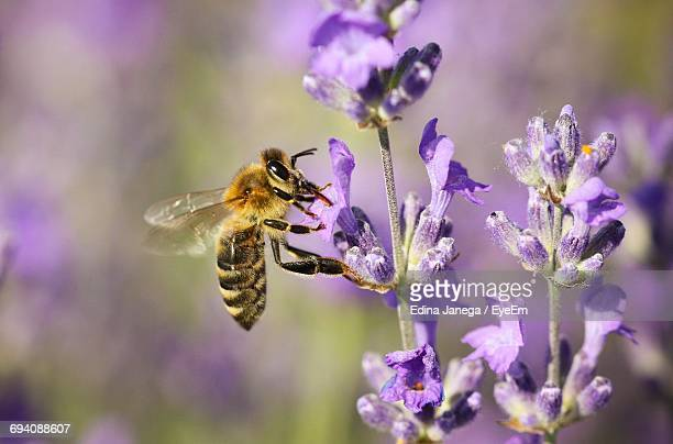 Close-Up Of Honey Bee Pollinating On Lavender Flower