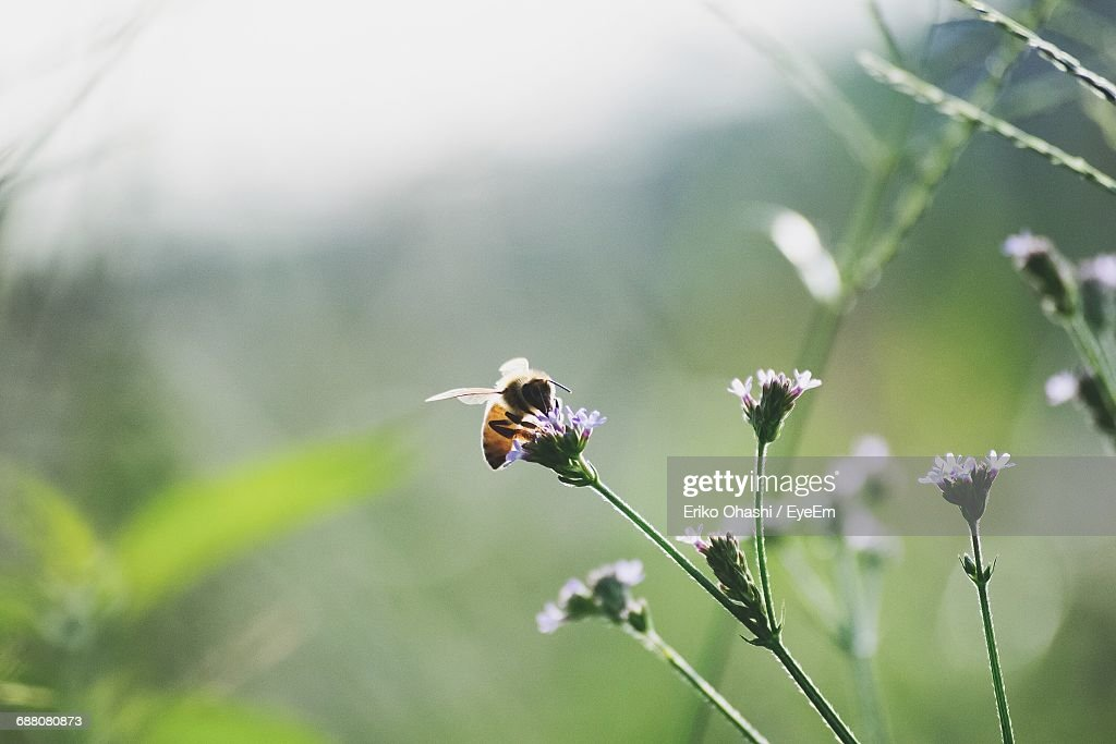Close-Up Of Honey Bee Pollinating On Wildflower : Stock Photo