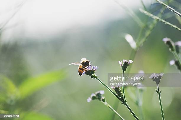 Close-Up Of Honey Bee Pollinating On Wildflower