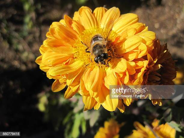 close-up of honey bee pollinating on yellow flower - howard,_wisconsin stock pictures, royalty-free photos & images