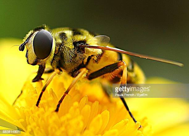 Close-Up Of Honey Bee Pollinating On Yellow Flower