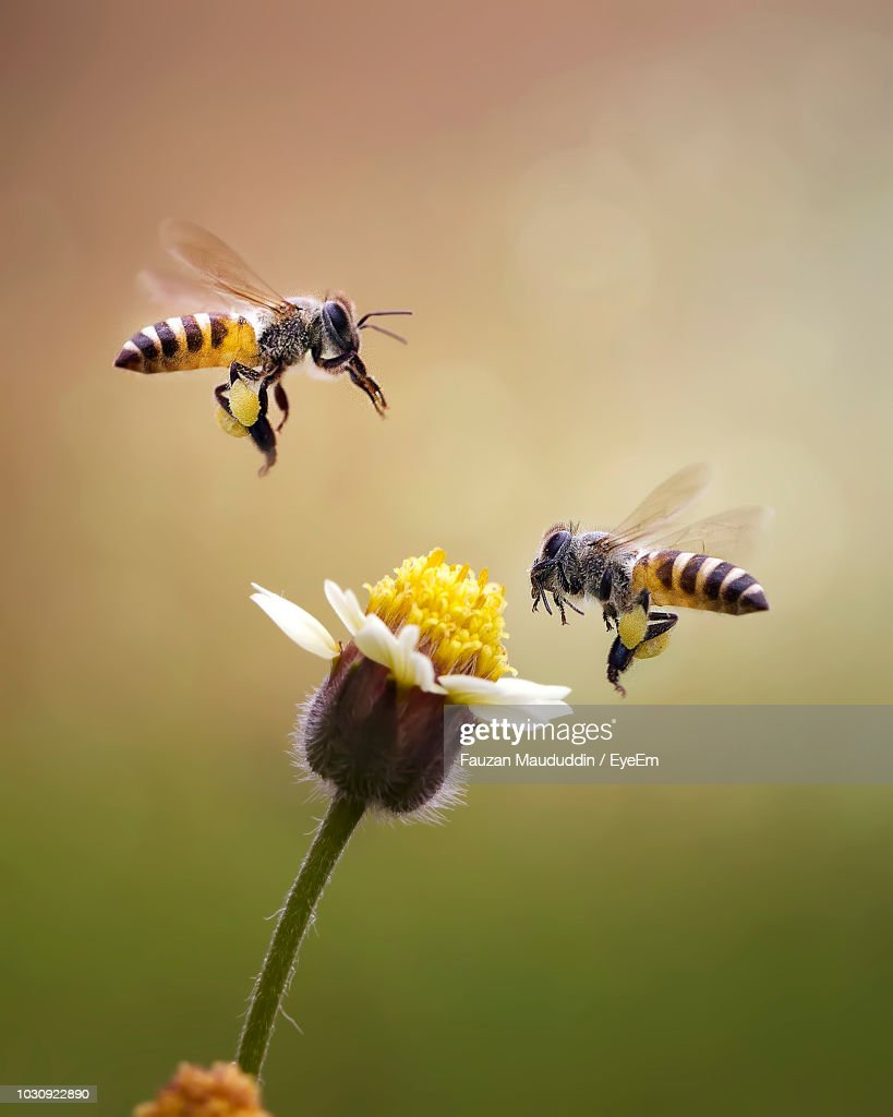 Close-Up Of Honey Bees Buzzing On Flower : Stock Photo