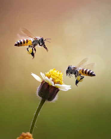 Close-Up Of Honey Bees Buzzing On Flower - gettyimageskorea