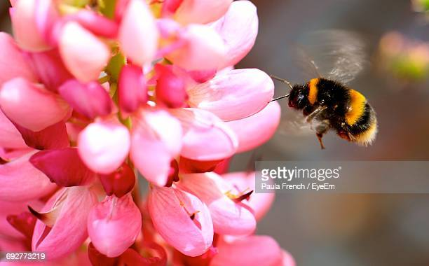 close-up of honey bumblebee on pink flower - bumblebee stock pictures, royalty-free photos & images