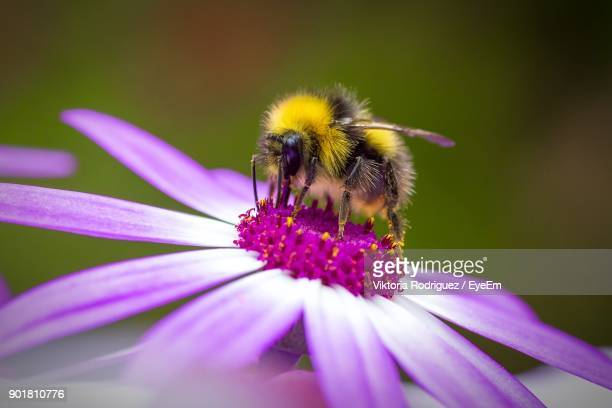 close-up of honey bumblebee pollinating on pink flower - api foto e immagini stock