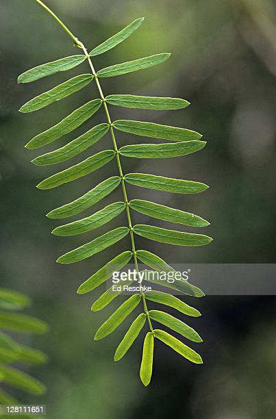 Closeup of Honey Mesquite, Prosopis glandulosa. Fabaceae (legume family). Used by early people for food, wood, dye, fuel. Wood used for barbecuing, Austin, Texas. USA