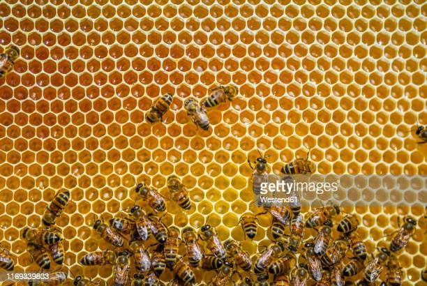 close-up of honeybees sitting on honeycombs - biene stock-fotos und bilder