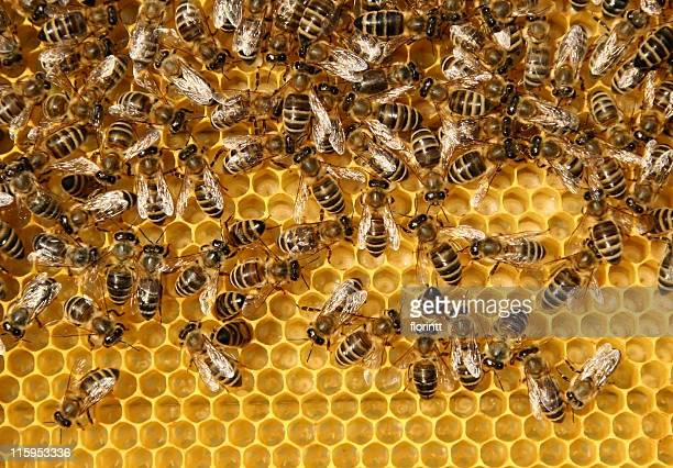 Close-up of honeycomb filled with bees