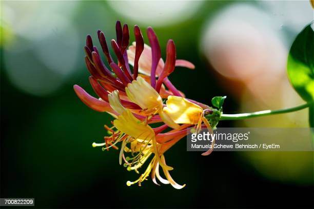 close-up of honeysuckle blooming outdoors - honeysuckle stock pictures, royalty-free photos & images