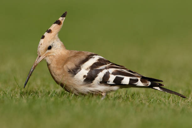Close-up of hoopoe perching on grassy field,Millbeck Green,United Kingdom,UK