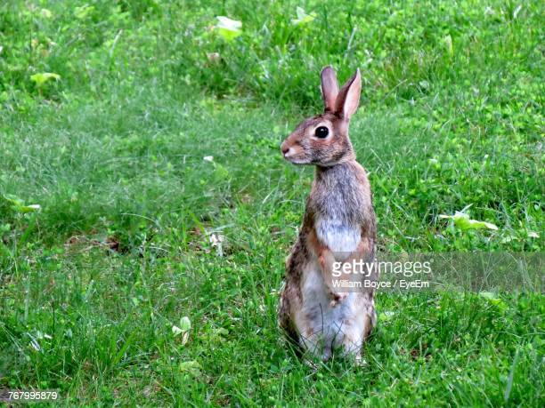 close-up of hopper standing on grassy field - hare stock pictures, royalty-free photos & images