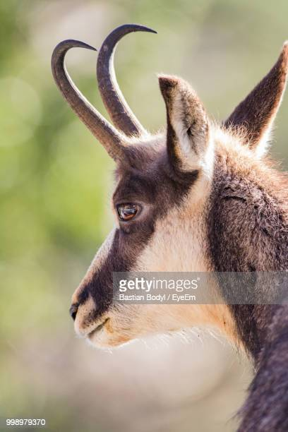 Close-Up Of Horned Animal