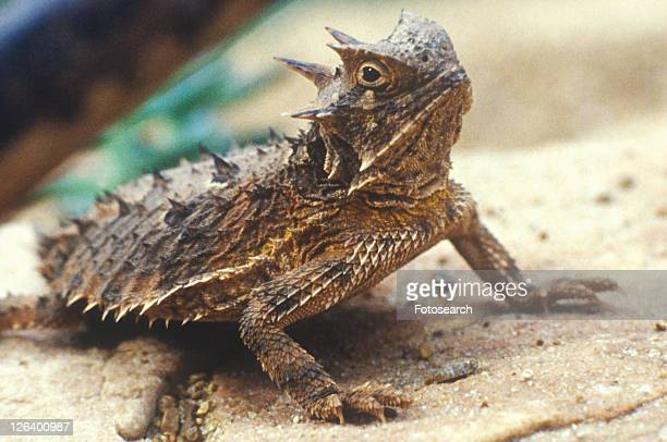 Close-up of Horned Toad