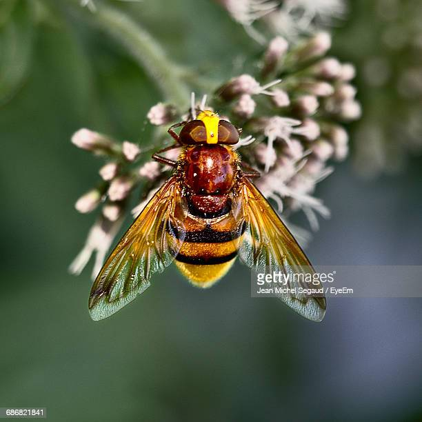 Close-Up Of Hornet Mimic Hoverfly On Flowers