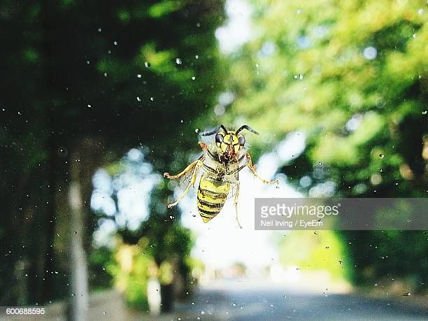 Close-Up Of Hornet On Glass