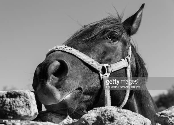 close-up of horse against clear sky,extremadura,spain - blanco y negro stock pictures, royalty-free photos & images