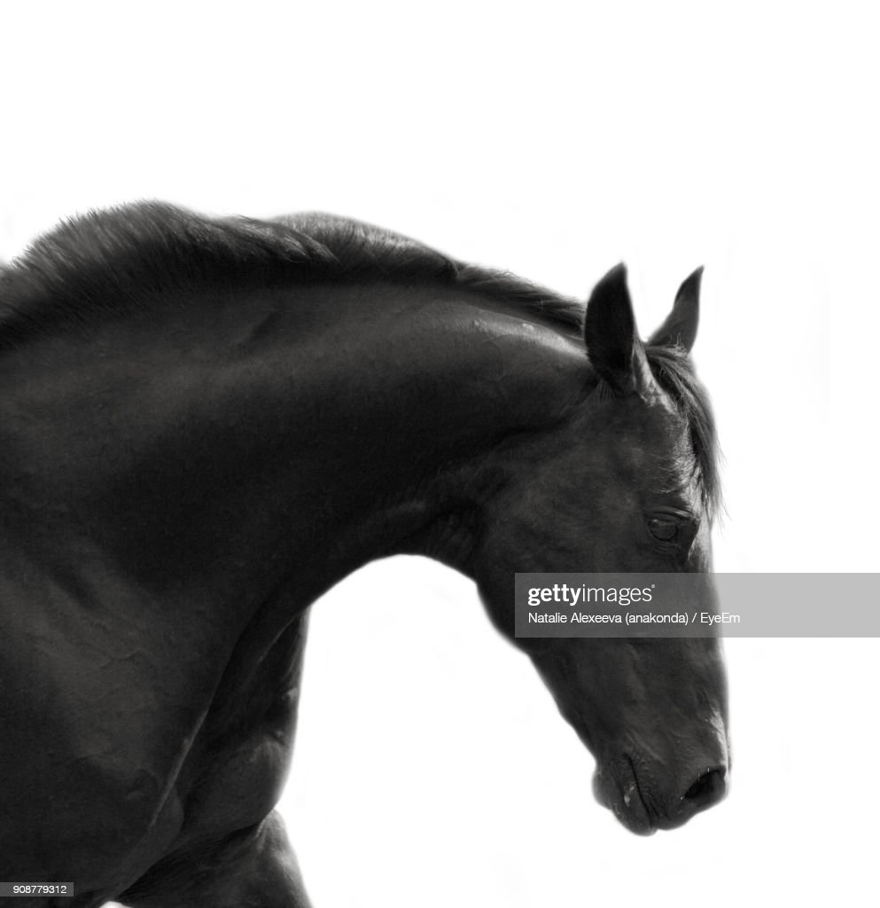 Close-Up Of Horse Against White Background : Stock Photo