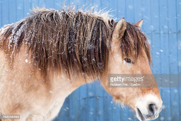 Close-Up Of Horse During Winter