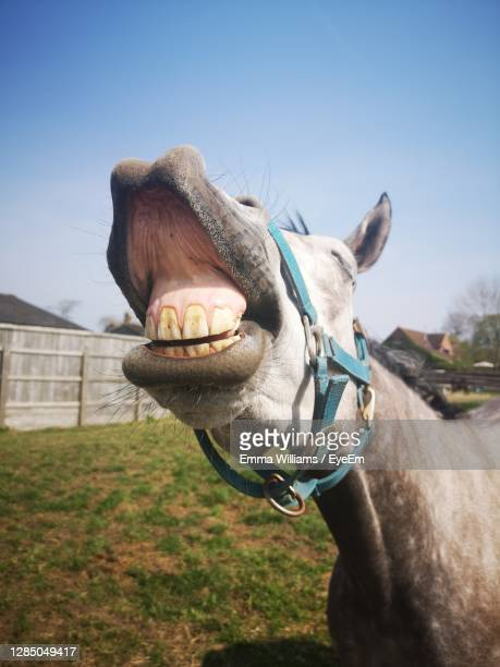 close-up of horse on field against sky - animal teeth stock pictures, royalty-free photos & images