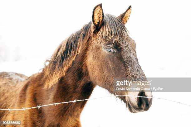 Close-Up Of Horse Standing By Barbed Wire Against Clear Sky