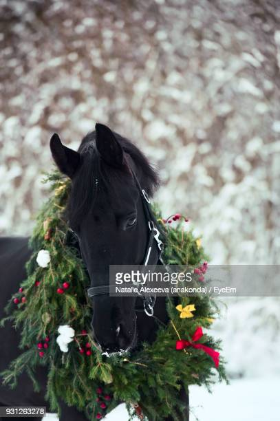 close-up of horse wearing wreath during winter - christmas horse stock pictures, royalty-free photos & images