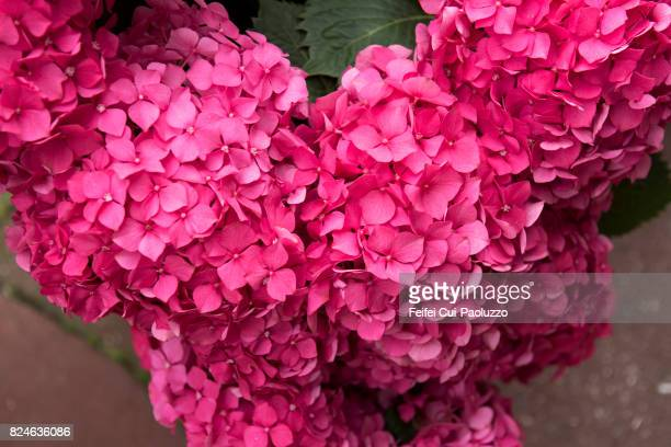 Close-up of Hortensia flower at Cherbourg, Normandy region, Manche department, North-west France
