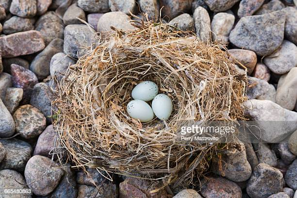 close-up of house finch - haemorhous mexicanus bird nest with three eggs on bed of river stones, quebec, canada - house finch stock pictures, royalty-free photos & images