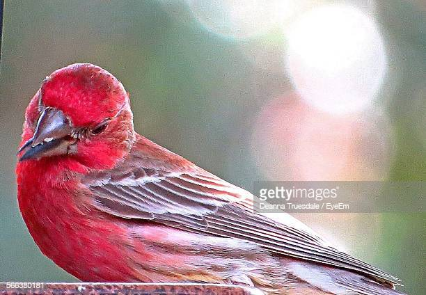 close-up of house finch - house finch stock pictures, royalty-free photos & images