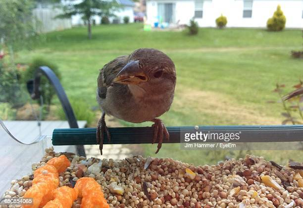 Close-Up Of House Sparrow Perching On Bird Feeder With Food