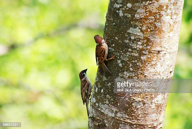 Close-Up Of House Sparrows Perching On Tree Trunk
