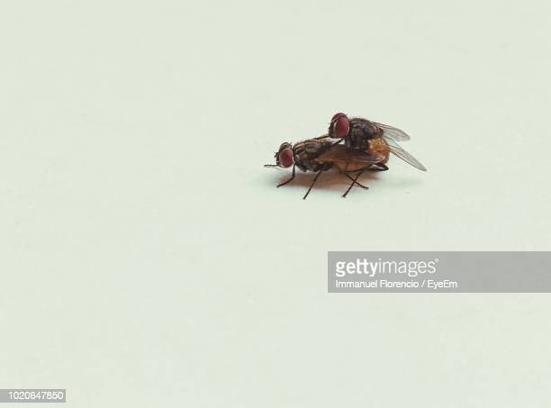 close-up of houseflies mating against white background - begattung kopulation paarung stock-fotos und bilder