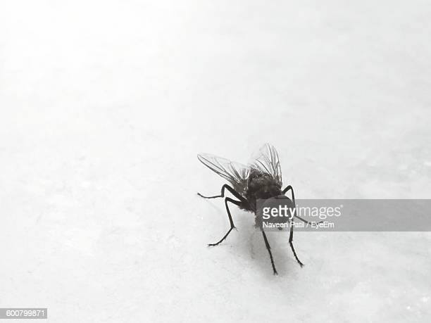 Close-Up Of Housefly Against White Background