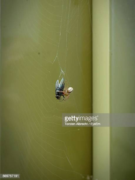 Image result for house fly in a web