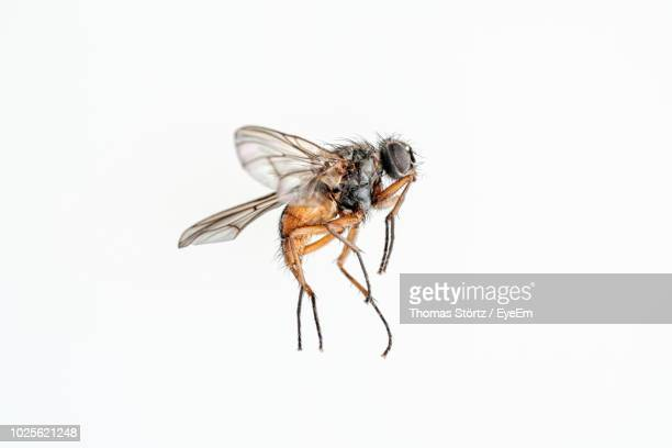 Close-Up Of Housefly Over White Background