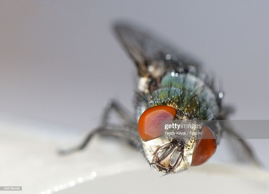 Close-Up Of Housefly : Foto stock