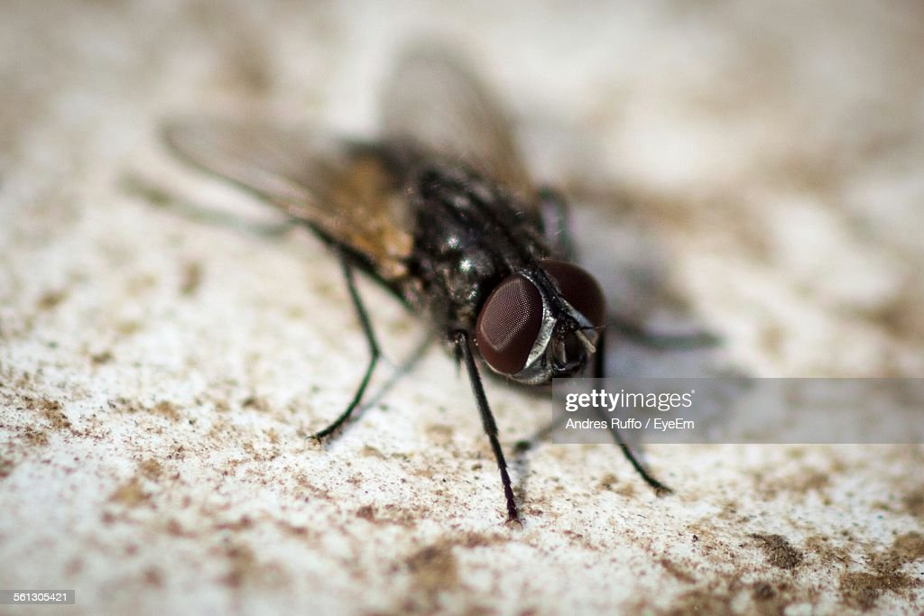 Close-Up Of Housefly : Stock Photo