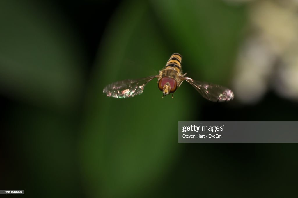 Close-Up Of Hoverfly Flying Outdoors : Stock Photo